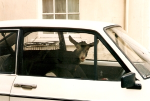 courtesy http://commons.wikimedia.org/wiki/File:Goat_in_a_car.jpg
