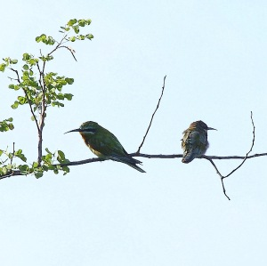 courtesy http://ibc.lynxeds.com/photo/blue-cheeked-bee-eater-merops-persicus/two-birds-perched-branch