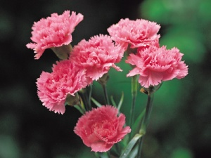 courtesy http://www.theflowersociety.com/flower-type-carnations.html