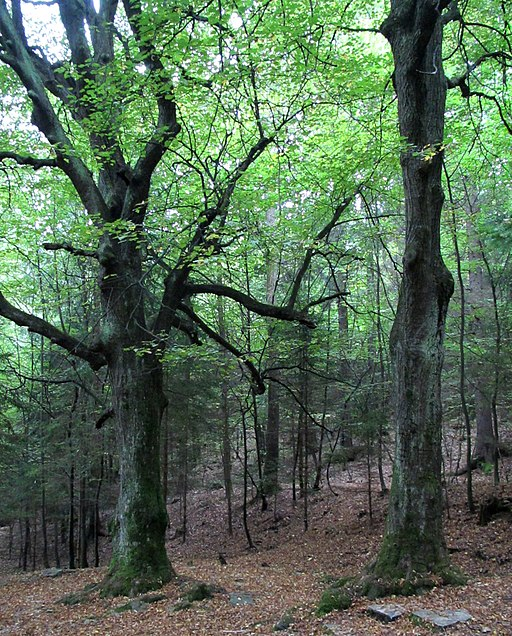 Dobrunje_beech_trees